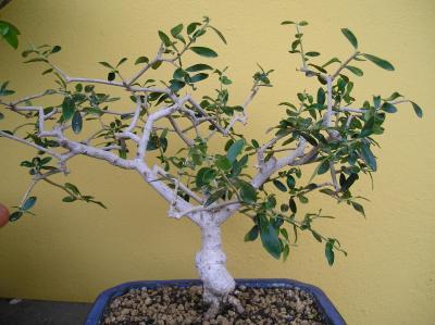 Olivo se le caen las hojas for Arboles que no se le caen las hojas en invierno