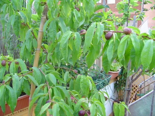Fotos de mis rboles frutales en macetas for Arboles frutales en maceta
