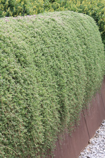 Texas ranger cenizo ash bush leucophyllum frutescens for Infos jardin