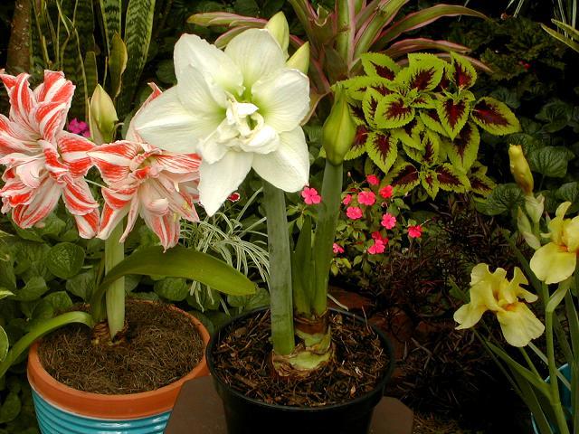 Jardiner a y patios de m xico cultivo de plantas for Vendo plantas ornamentales