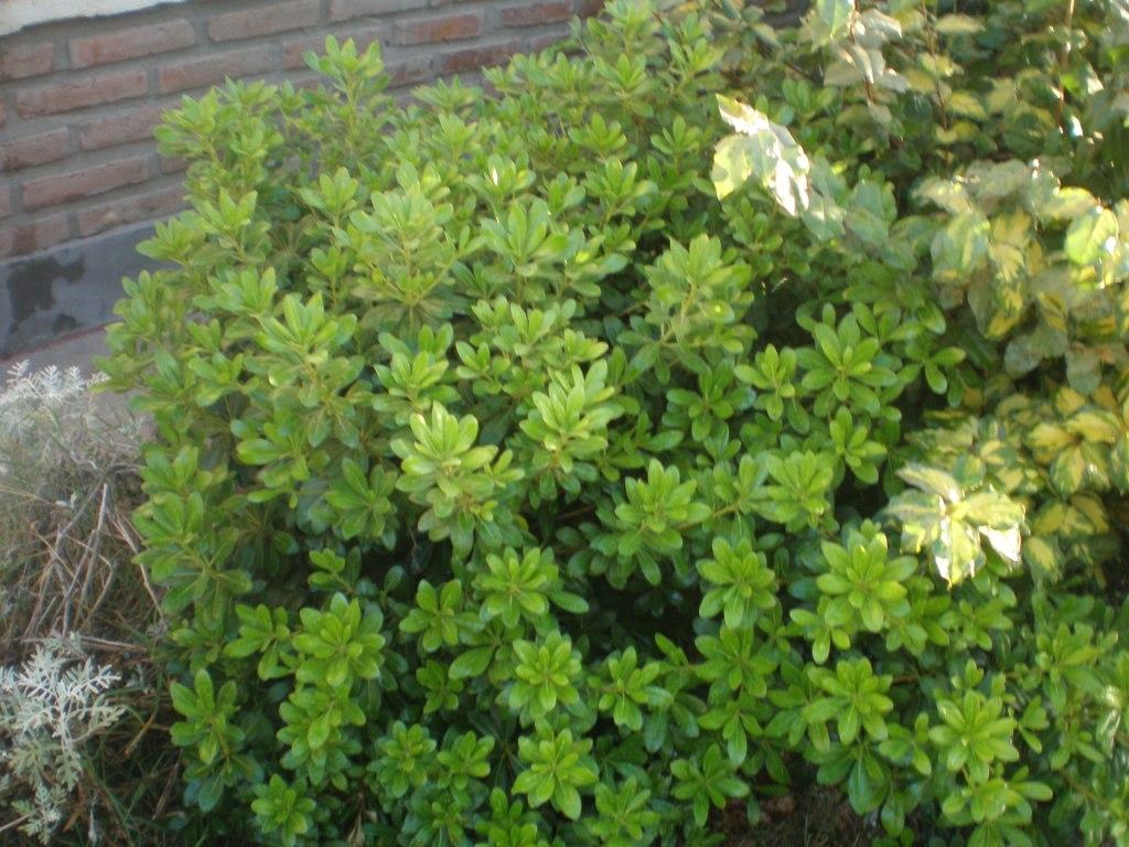 Identificar arbusto for Arboles crecimiento rapido hoja perenne