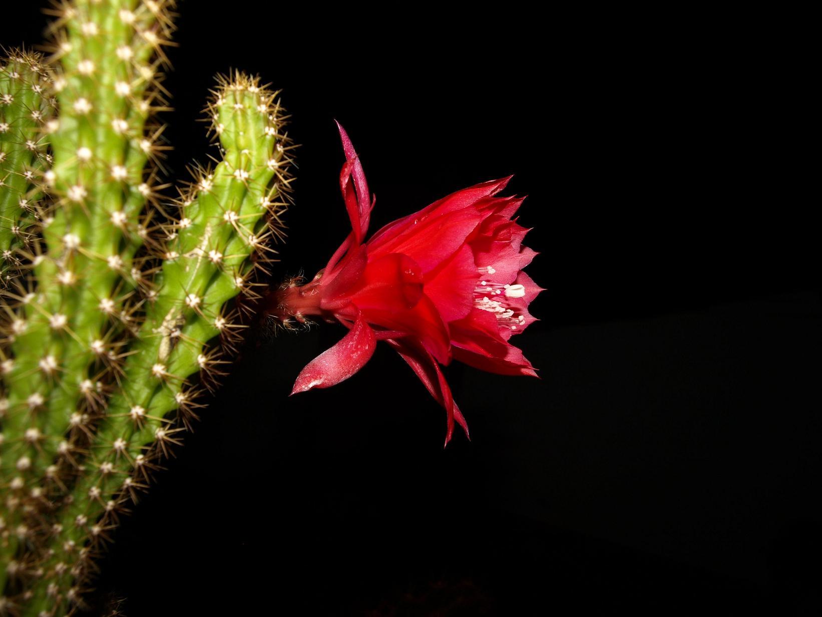 Fotos de cactus raros - Cactus raros fotos ...