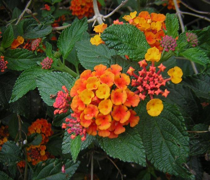 Arbusto con flores muy com n - Arbusto pequeno con flores ...