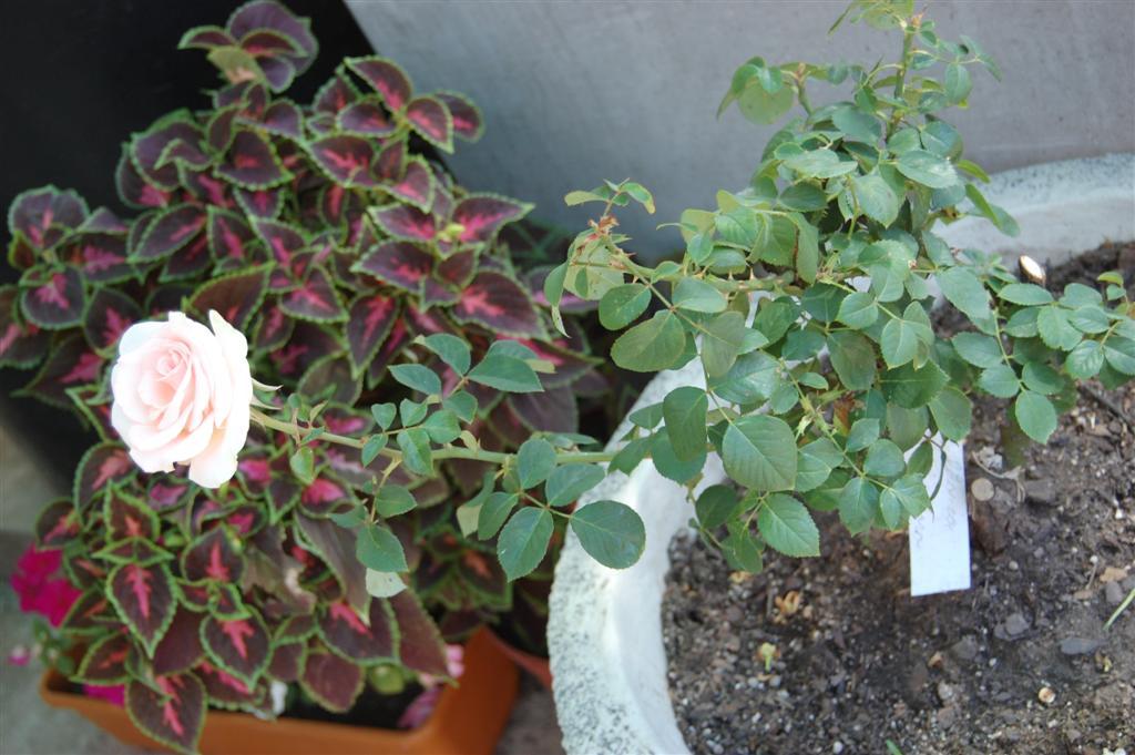 Fotos de mis rosales en macetas - Rosales en macetas ...