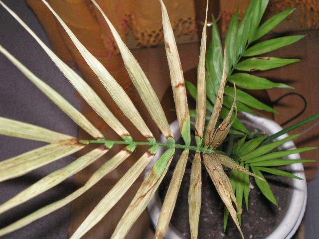 Foro de infojard n - Tipos de palmeras de interior ...