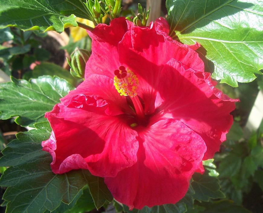 Re: Fotos de nuestros hibiscos