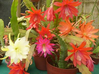 Intercambios de semillas y esquejes en chile p gina 11 for Semillas de cactus chile