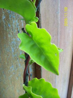 Foto de Cissus verticillata