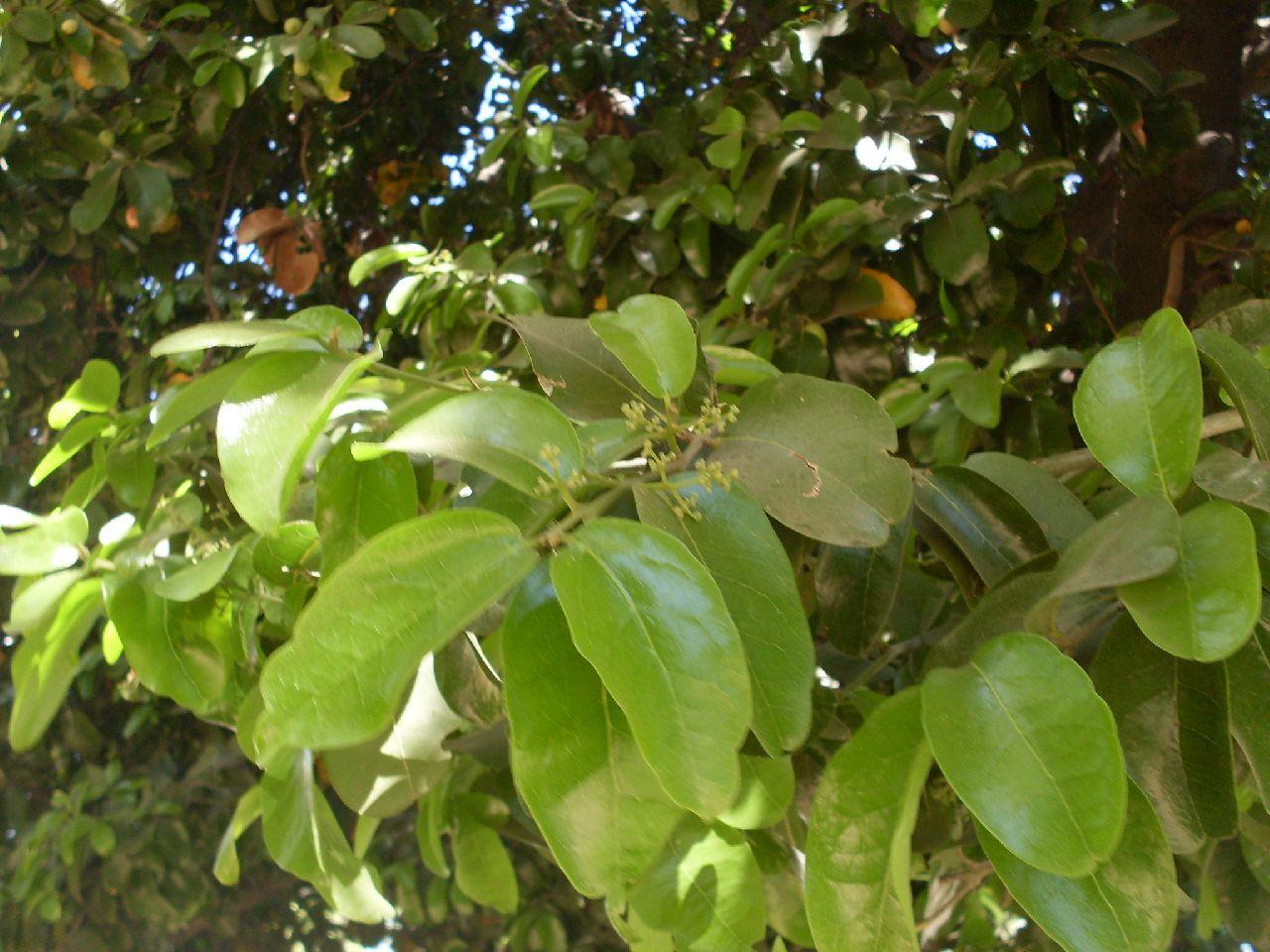 Un arbol y sus frutos for Ver fotos de arboles de hoja perenne