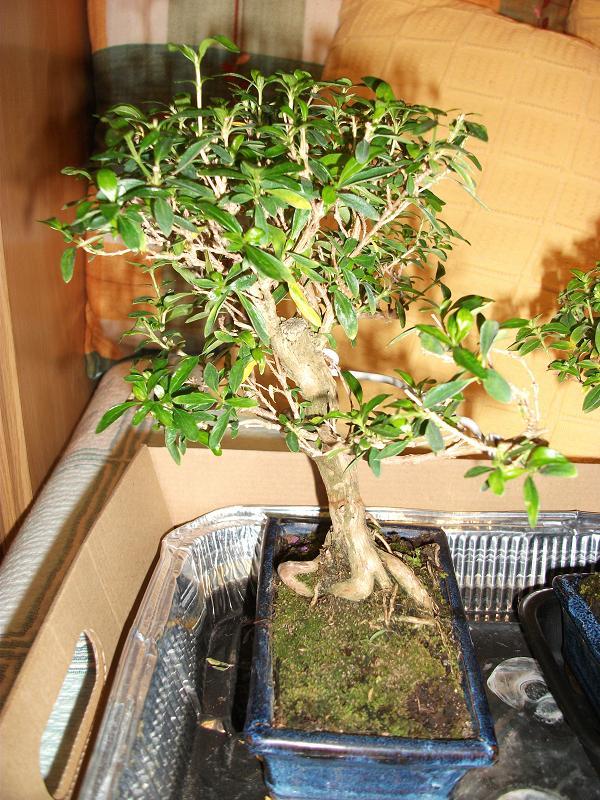 Serissa phoetida y cuphea - Bonsai verdecora ...
