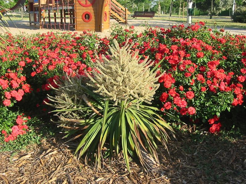 Yucca y otras plantas para identificar del parque juan carlos i de madrid - Yuca infojardin ...