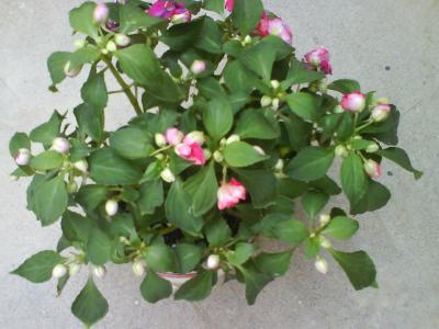 Alegr a de flor doble he comprado cuidados - Planta alegria de la casa ...