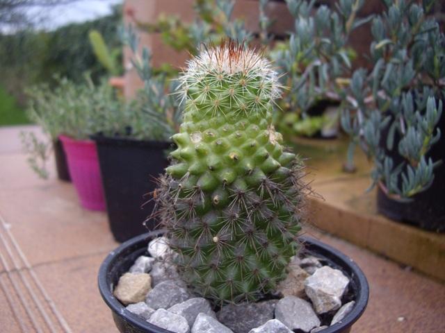 Pin cactus raros on pinterest - Infojardin cactus ...