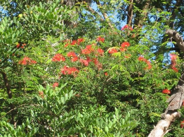 Me podeis decir como se llama este árbol de flores rojas. - Foro ...