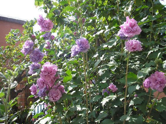 Fotos de nuestros hibiscos pgina 104 foro de infojardn Trabajo jardinero girona