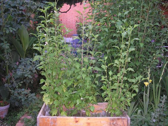 Fotos de nuestros hibiscos p gina 104 foro de infojard n Trabajo jardinero girona