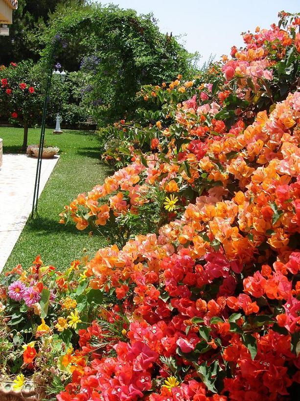 Fotos bugambillas han florecido mucho - Fotos de buganvillas ...