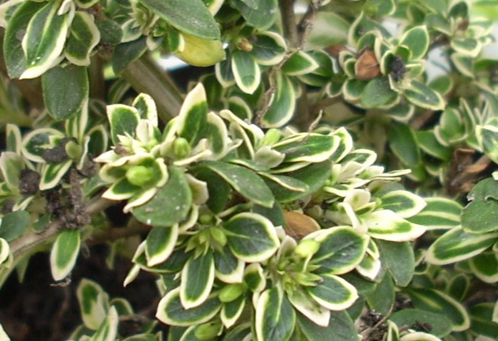 Arbusto enano nombre - Arbustos enanos para jardin ...