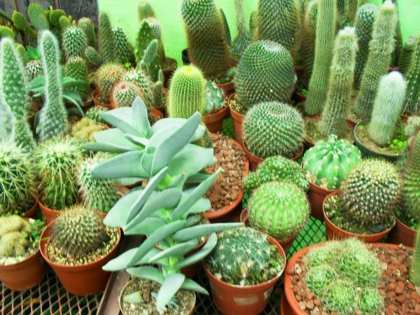 Alg n grupo de cactus en costa rica p gina 5 for Vivero feroxcactus