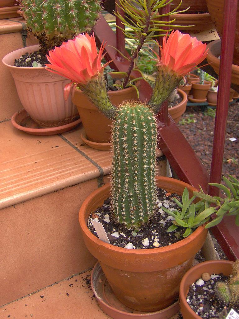 Informacion de los mini cactus for Informacion sobre el cactus