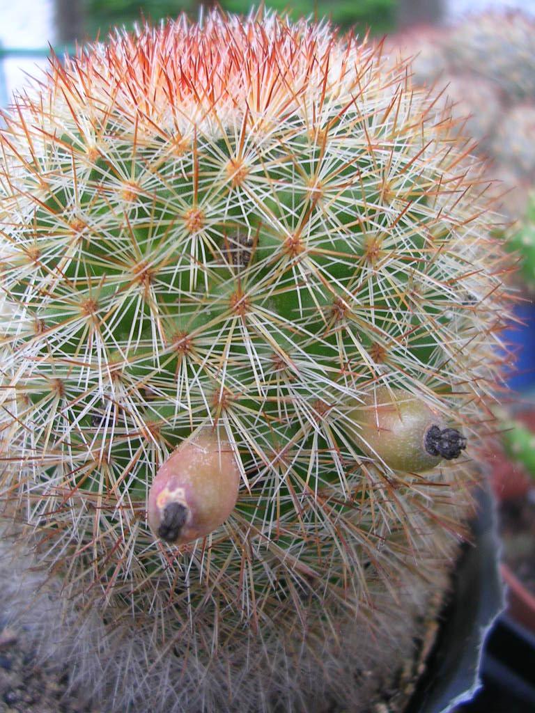 Ayuda con semillas de echinopsis for Semillas de cactus chile